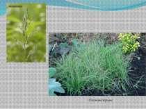тонконіг бізонова трава