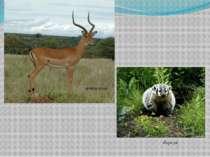 антилопа борсук