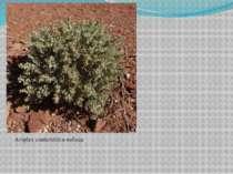 Atriplex confertifolia-лобода