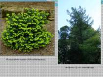 бальзамічна ялиця(Abies balsamea), модрина(Larix amerikana)