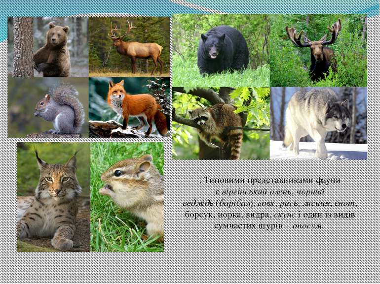 . Типовими представниками фауни євіргінський олень,чорний ведмідь(барібал)...