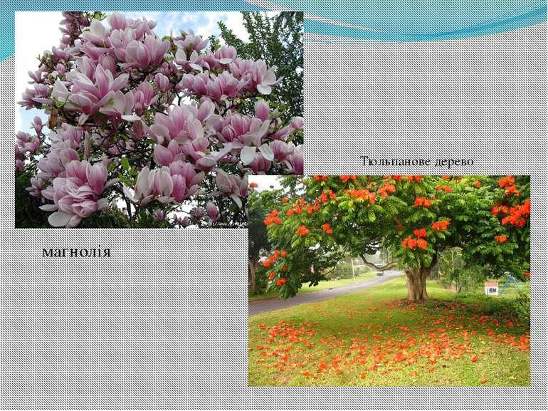 Тюльпанове дерево магнолія
