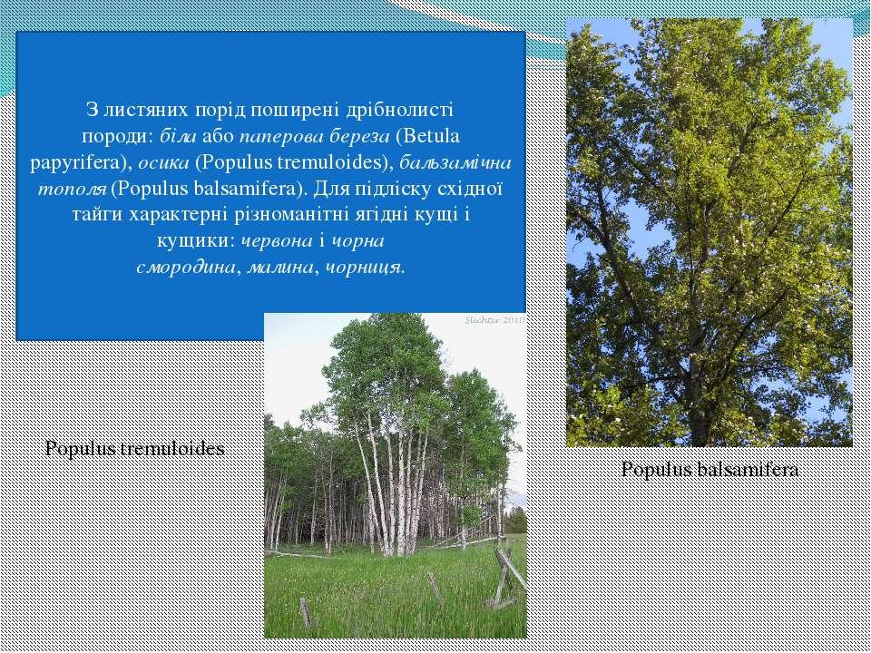 З листяних порід поширені дрібнолисті породи:білаабопаперова береза(Betul...