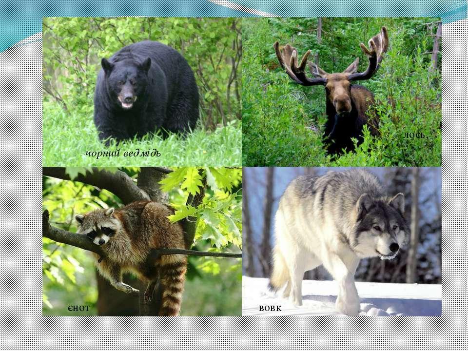 чорнийведмідь лось, вовк єнот