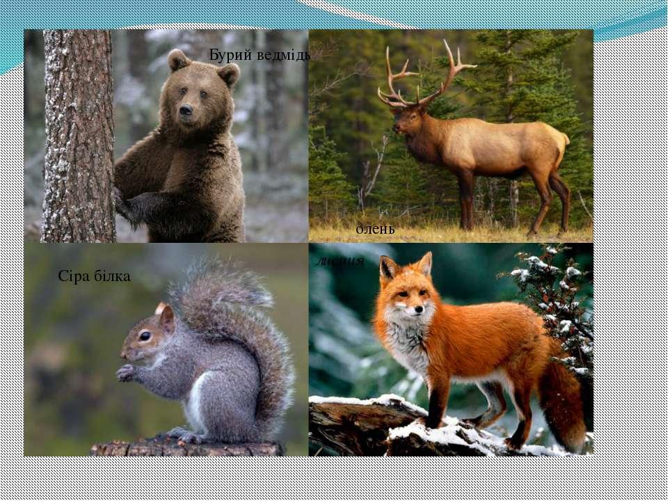 Бурий ведмідь олень Сіра білка лисиця