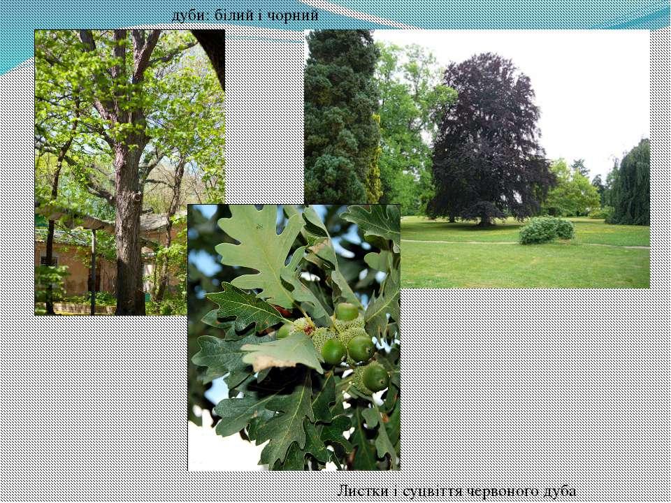 дуби: білий і чорний Листки і суцвіття червоного дуба