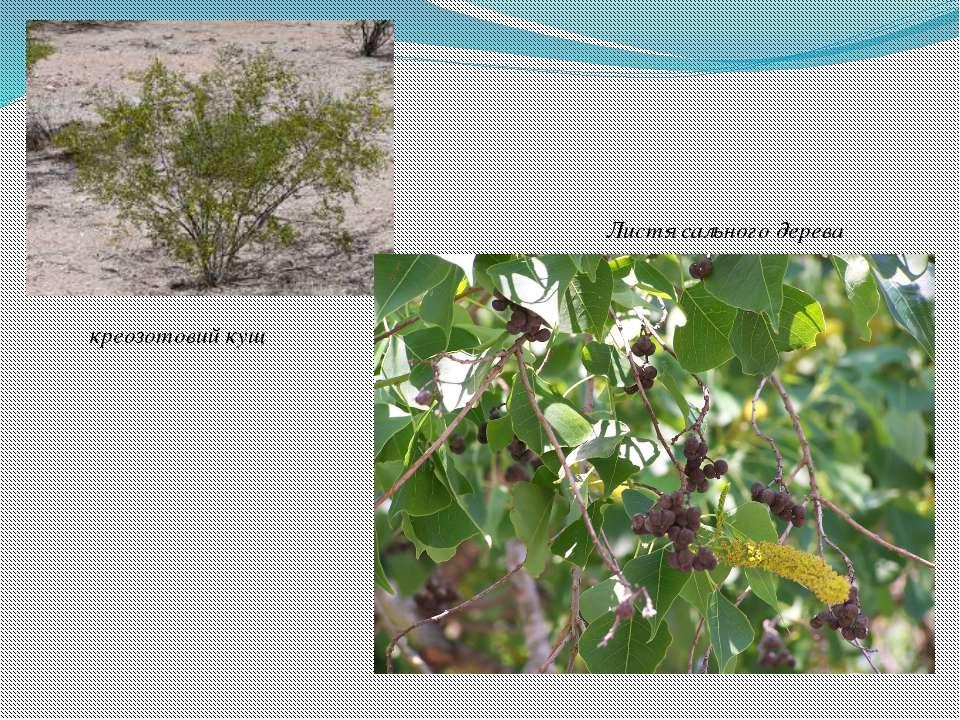 креозотовий кущ Листя сального дерева