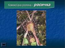Комахоїдна рослина – росичка