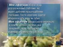 Мох сфагнум вбирає воду розгалуженими стеблами, які вкриті дрібними лускоподі...
