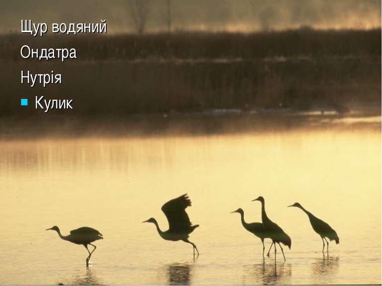 Щур водяний Ондатра Нутрія Кулик