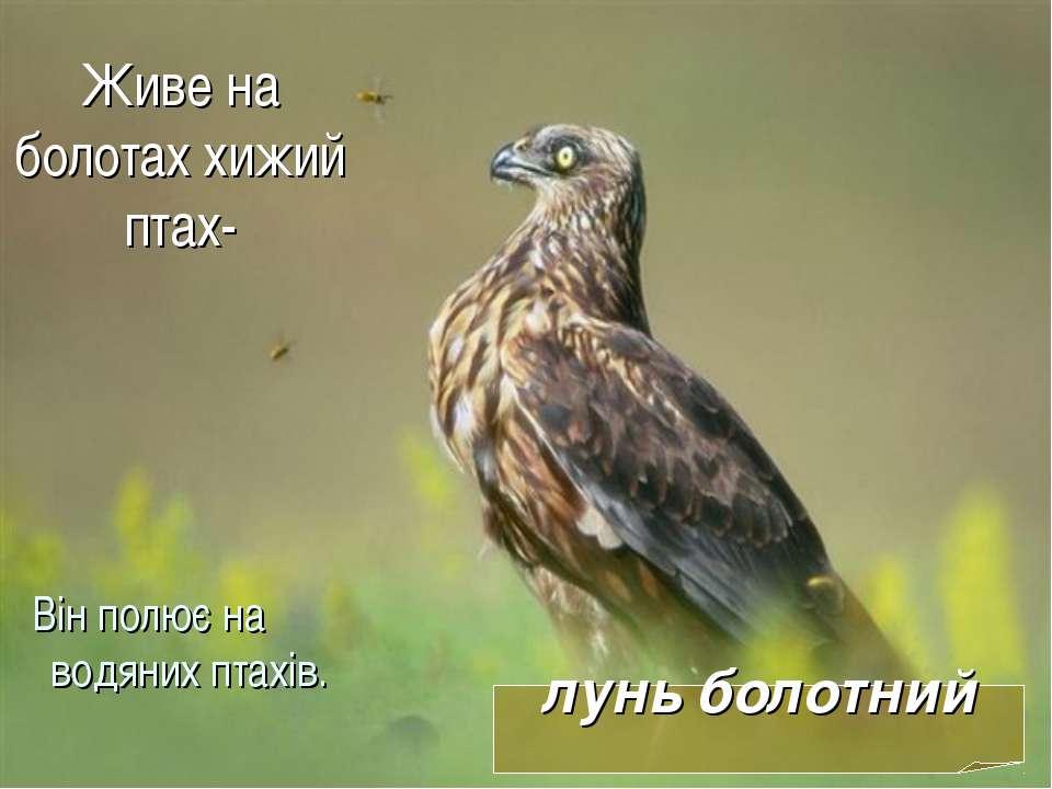 Живе на болотах хижий птах- Він полює на водяних птахів. лунь болотний