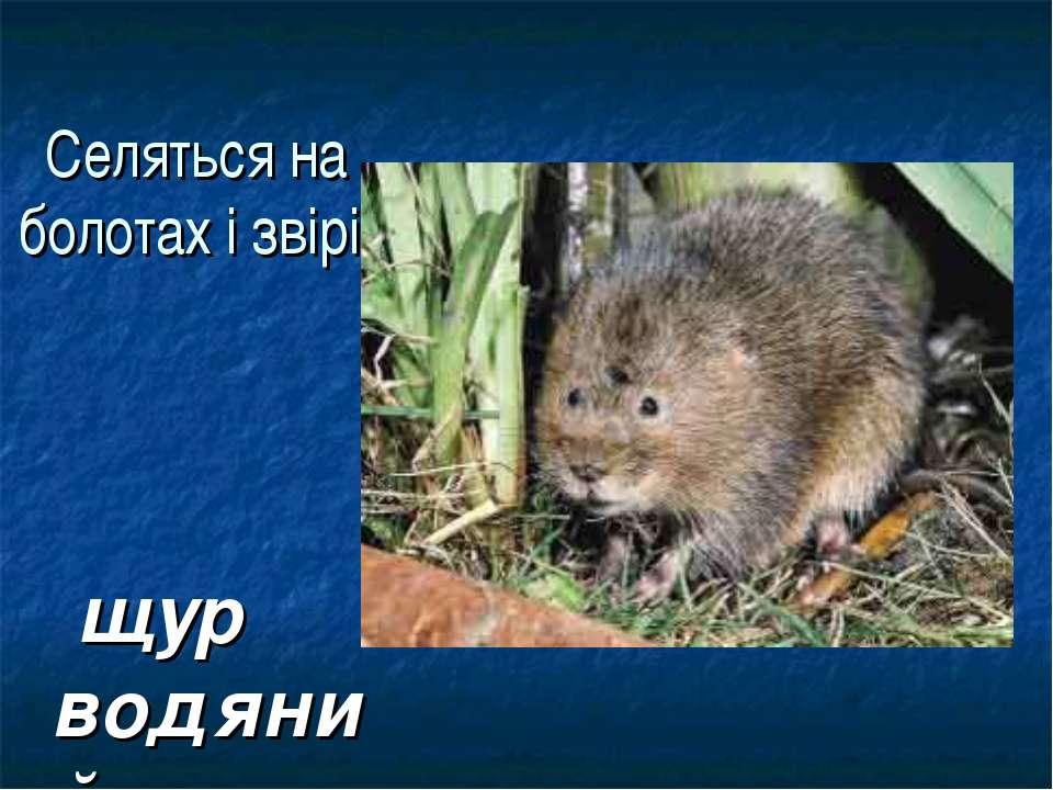 Селяться на болотах і звірі: щур водяний