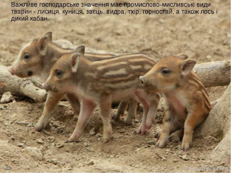Важливе господарське значення має промислово-мисливські види тварин - лисиця,...