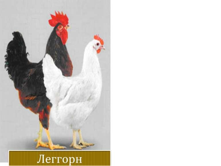 Жива вага. Кури – 1,9 кг, півні – 2,6 кг.весом 55-58 р. Яйценоскость.160-230 ...