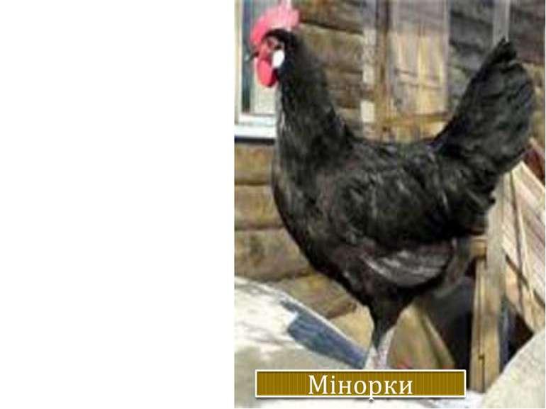 Жива вага.: Кури – 2,4 кг, півні – 3,2 кг. Несучість. 200-215 яєць на рік ваг...