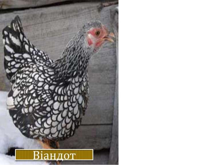 Жива вага. Кури – 3,2 кг, півні – 3,8 кг. Несучість. 140-170 яєць на рік ваго...