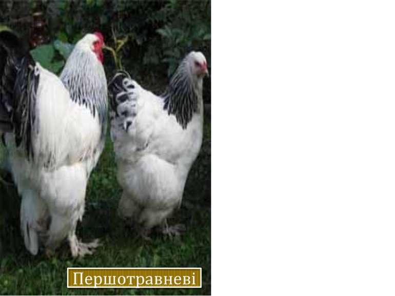Несучість – 140-160 яєць на рік. Маса яєць – 57-58 г, курей – 2,3-2,5, півнів...