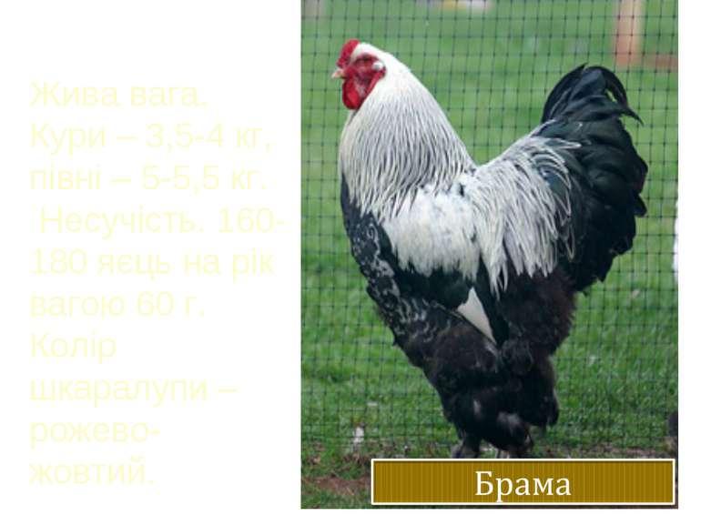Жива вага. Кури – 3,5-4 кг, півні – 5-5,5 кг. Несучість. 160-180 яєць на рік ...