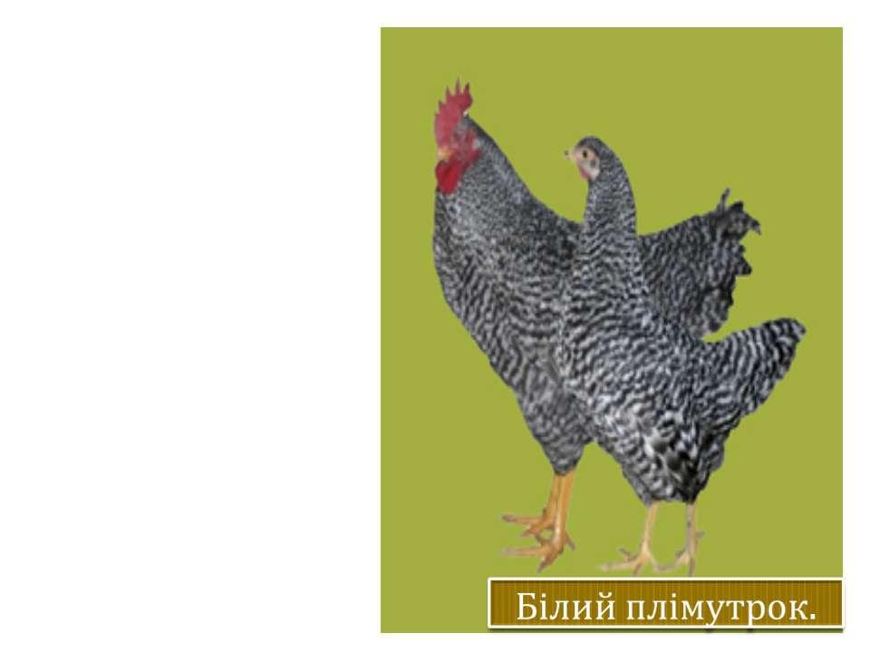Жива маса півнів 3-4 кг, курей 2,5 – 3,8 кг. Забарвлення яєчної шкаралупа сві...
