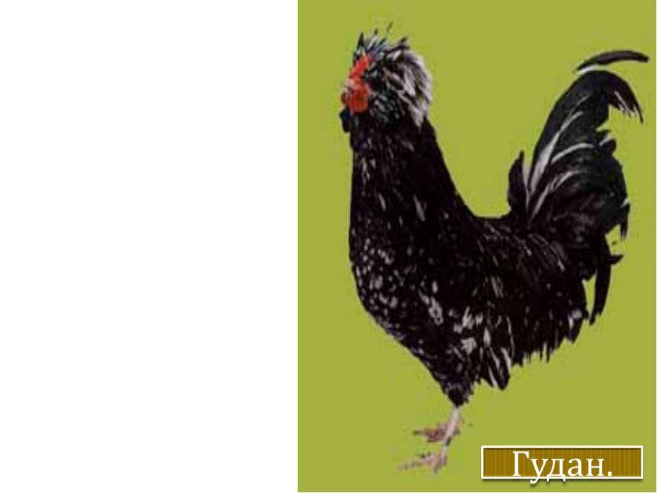 Несучість – 130-150 яєць на рік, маса яйця – 58-65 г. Яйця з білою шкаралупою...