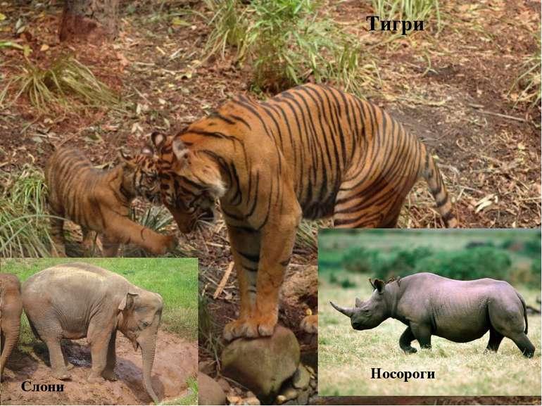 Тигри Слони Носороги