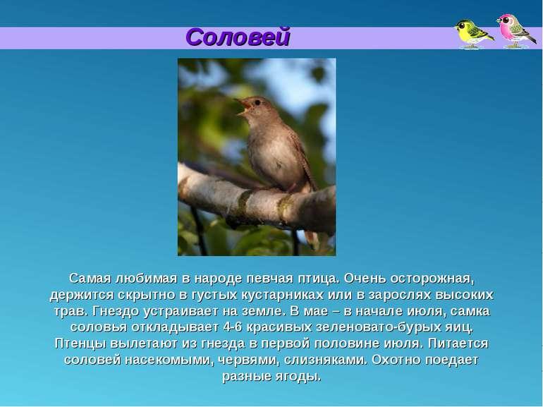 Соловей Самая любимая в народе певчая птица. Очень осторожная, держится скрыт...