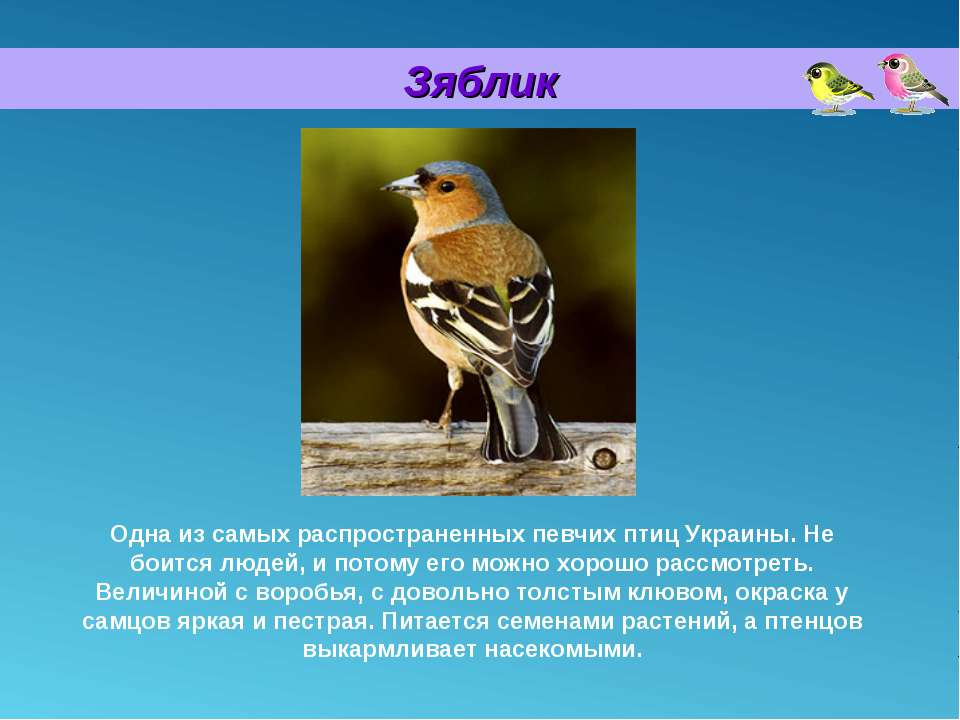 Зяблик Одна из самых распространенных певчих птиц Украины. Не боится людей, и...