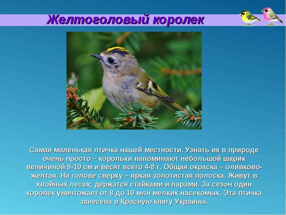 Желтоголовый королек Самая маленькая птичка нашей местности. Узнать их в прир...