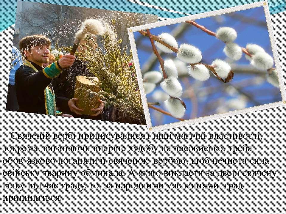 Свяченій вербі приписувалися і інші магічні властивості, зокрема, виганяючи в...