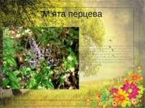М'ята перцева Росте м'ята на городах, в лісах. Лікарською сировиною є листя, ...