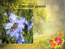 Цикорій дикий Петрові батоги широко використовуються ународній медицині. Мол...