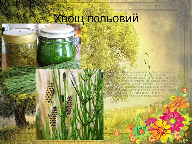 Хвощ польовий Хвощ польовий,дуже розповсюджена рослина. Сировиною є трава. В...