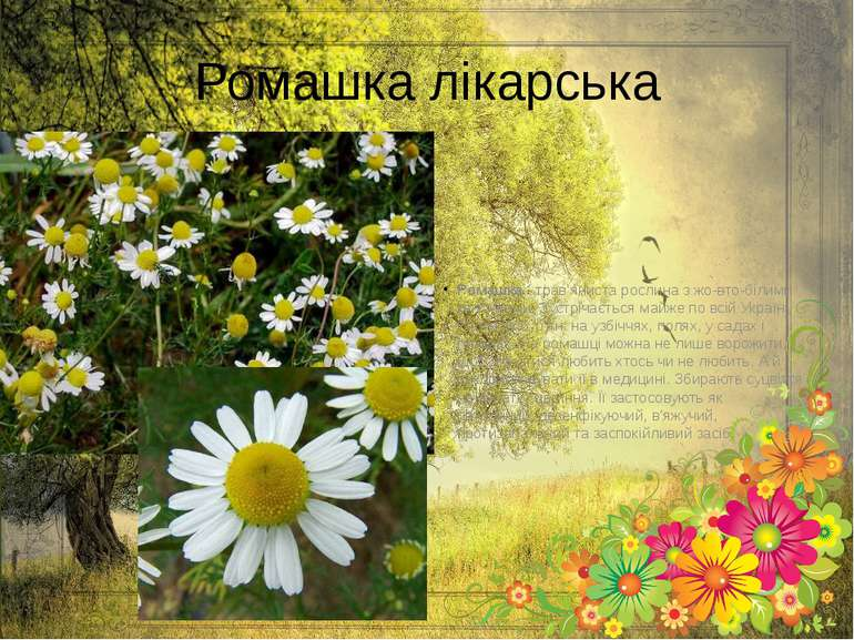 Ромашка лікарська Ромашка- трав'яниста рослина з жо вто-білими квіточками. З...