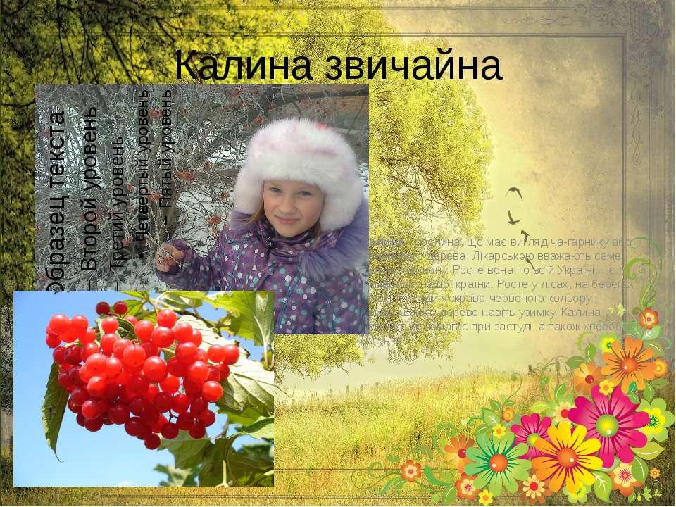Калина звичайна Калина- рослина, що має вигляд ча гарнику або невеликого дер...