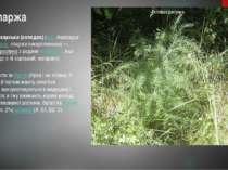 Спаржа Спа ржа лікарська (холодок)(лат.Asparagus officinalis L.;рос.спар...