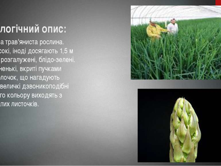 Біологічний опис: Багаторічна трав'яниста рослина. Стебла високі, іноді досяг...