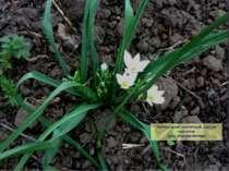 Орнітогалум зонтичний, рястка зонтична (рос. птицемлечник)