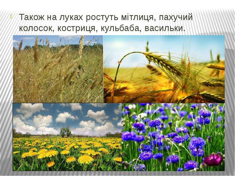 Також на луках ростуть мітлиця, пахучий колосок, костриця, кульбаба, васильки.