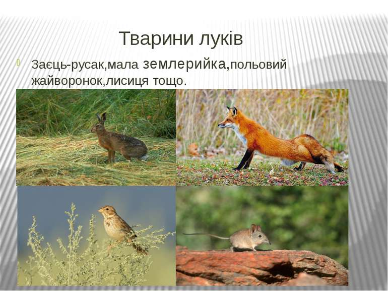 Тварини луків Заєць-русак,мала землерийка,польовий жайворонок,лисиця тощо.