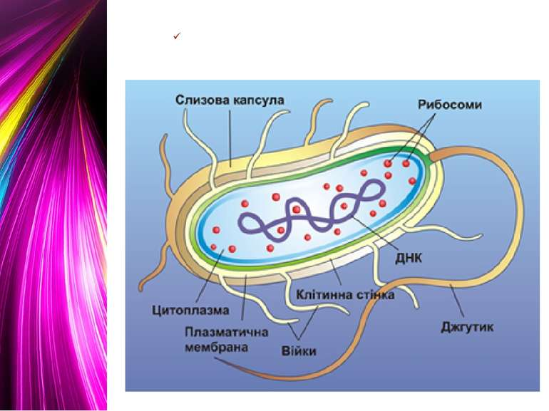 Будова бактеріальної клітини