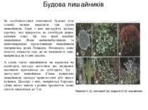 Будова лишайників За особливостями зовнішньої будови тіла (слані) можна виділ...