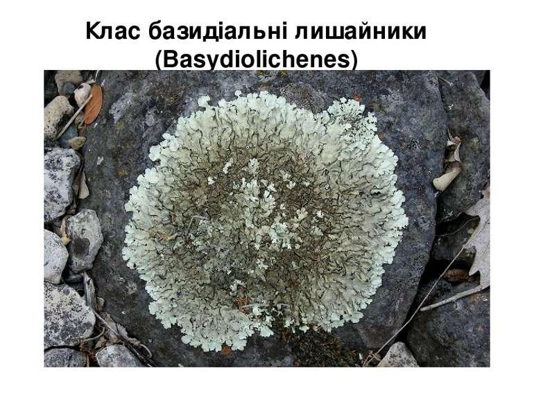 Клас базидіальні лишайники (Ваsydiolichenes)