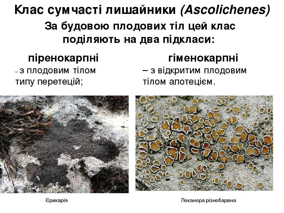 Клас сумчасті лишайники(Аscolichenes) За будовою плодових тіл цей клас поділ...