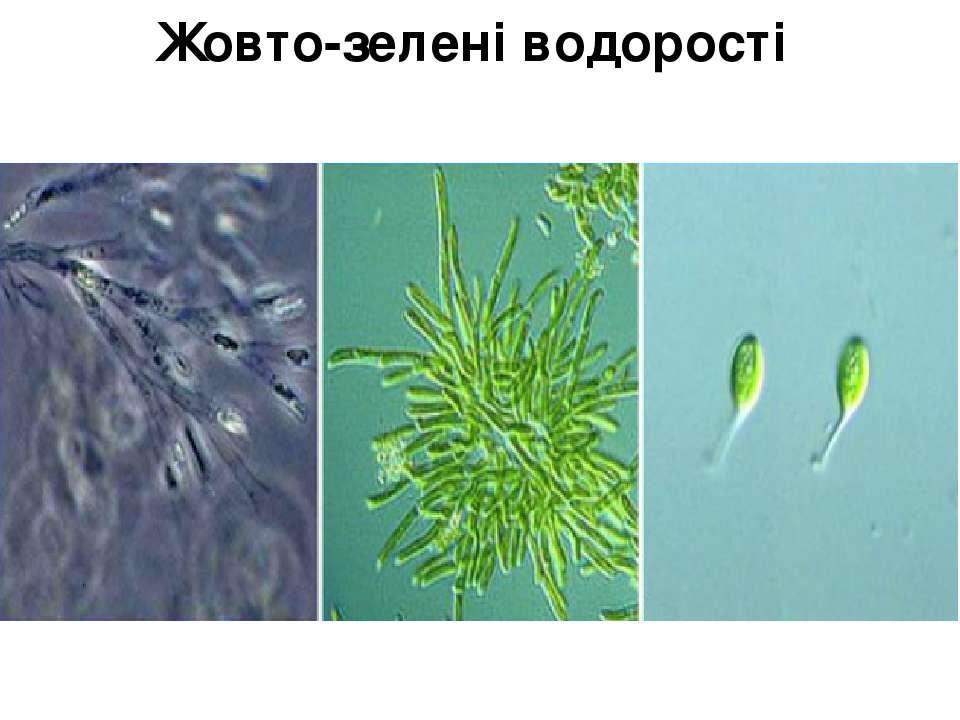 Жовто-зелені водорості