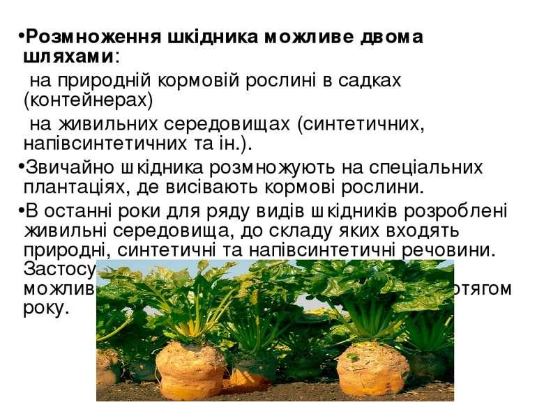 Розмноження шкідника можливе двома шляхами: на природній кормовій рослині в с...