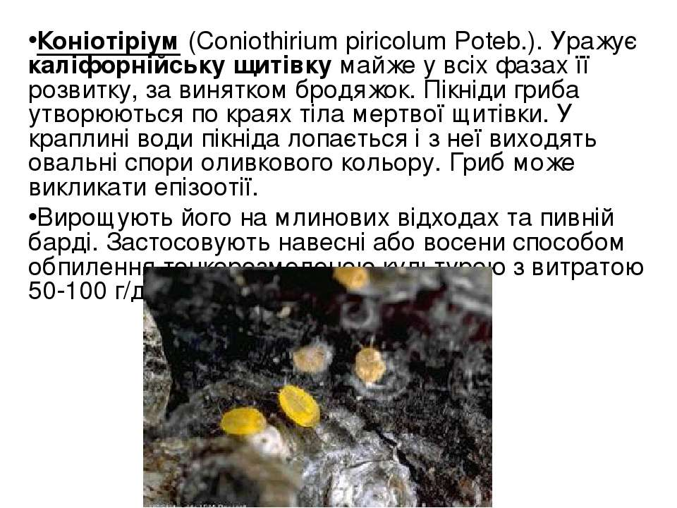 Коніотіріум (Coniothirium piricolum Poteb.). Уражує каліфорнійську щитівку ма...