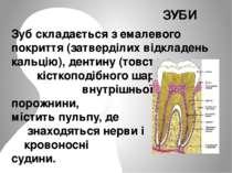 Зуб складається з емалевого покриття (затверділих відкладень кальцію), дентин...