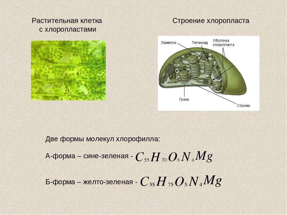 Строение хлоропласта Растительная клетка с хлоропластами Две формы молекул хл...