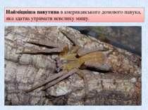 Найміцніша павутинав американського домового павука, яка здатна утримати нев...