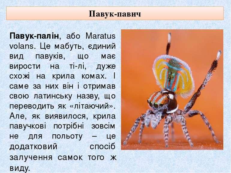Павук-павич Павук-палін, або Maratus volans. Це мабуть, єдиний вид павуків, щ...